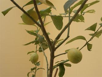 20070407_lemons