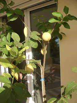 8268_lemon_tree
