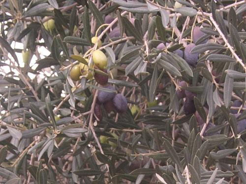 Green and black olives together