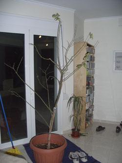 Poorly lemon tree