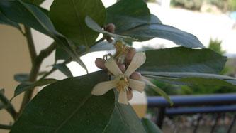 Lemontreeflower