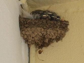 Swallows01