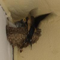 Swallows_02