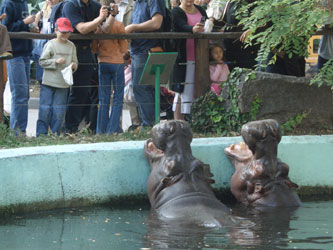 Zoo_hippos